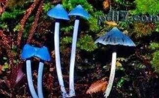 世界上最怪异的蘑菇top6 天蓝菇