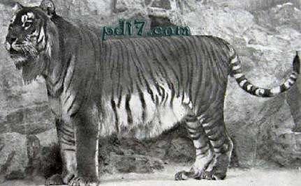 世界上已经灭绝的老虎:爪哇虎