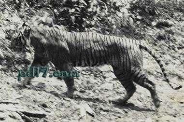 世界上已经灭绝的老虎:里海虎