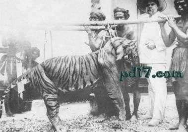 世界上已经灭绝的老虎:巴厘虎