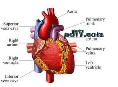 含人体器官_人体最重要的十大器官是什么:Top10(2) - 一起盘点网