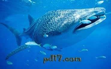 世界最大鱼视频_世界上最大的鱼都有哪些:Top5-一起盘点网