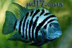 十种极为特殊的鱼类Top9:罪鱼