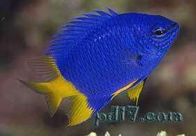 十种极为特殊的鱼类Top7:黑眶锯雀鲷