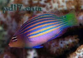 十种极为特殊的鱼类Top6:濑鱼