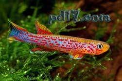 十种极为特殊的鱼类Top2:红树鳉鱼