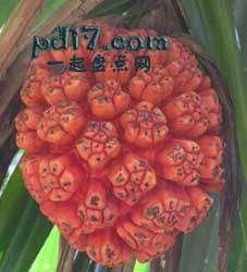 长相怪异的水果Top5:露兜果
