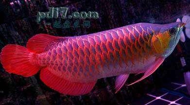 新加坡红龙鱼视频_最贵的鱼是什么鱼(2) - 一起盘点网