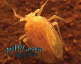 超凡脱俗的地下生物Top2:troglobitic planthoppers