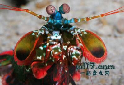 动物令人难以置信的眼睛Top1:螳螂虾