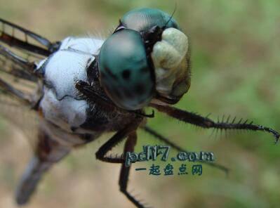 动物令人难以置信的眼睛Top10:蜻蜓