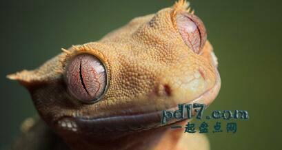 动物令人难以置信的眼睛Top9:壁虎