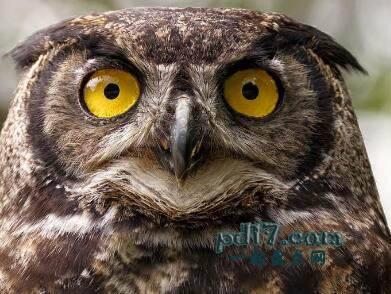 动物令人难以置信的眼睛Top8:猫头鹰