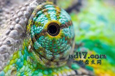 动物令人难以置信的眼睛Top7:变色龙
