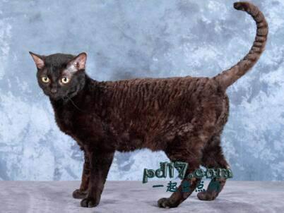 世界上最小的猫的品种Top2:德国雷克斯 6-8磅