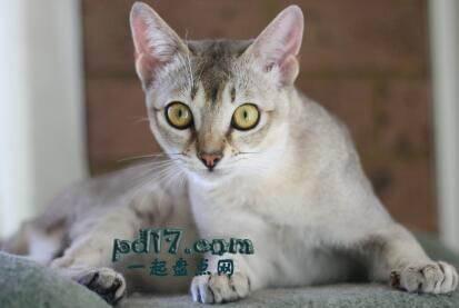世界上最小的猫的品种Top1:新加坡猫 4-7磅
