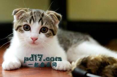 世界上最小的猫的品种Top10:苏格兰折耳猫 9-13磅