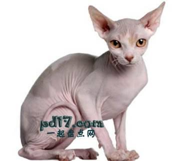 世界上最小的猫的品种Top9:斯芬克斯猫 6-12磅