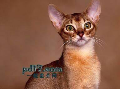 世界上最小的猫的品种Top8:东方短毛猫 7-10磅