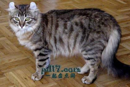 世界上最小的猫的品种Top7:美国卷毛 7-10磅