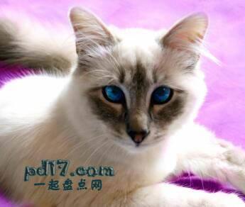 世界上最小的猫的品种Top6:爪哇猫 5-10磅