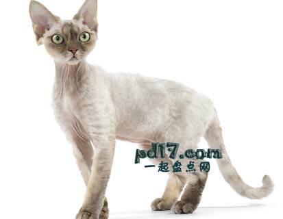 世界上最小的猫的品种Top5:德文郡雷克斯 5-10磅