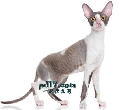 世界上最小的猫的品种Top4:康沃尔雷克斯 6-9磅