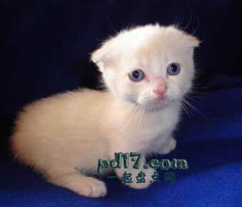 世界上最小的猫的品种Top3:芒奇金猫 6-9磅